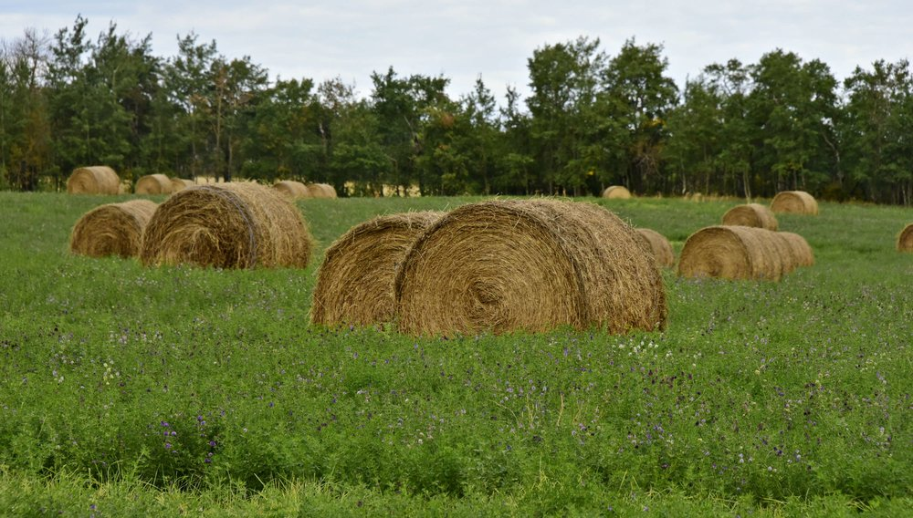 Hay Bales and Alfalfa fields in Manitoba | Photo Brandy Saturley