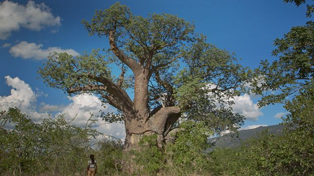 underneath the old baobab tree, I sold you and you sold me . . . . . . . . . . . . #Adansoniakilima #baobab #baobabtree #nyanga #zimbabwe #onthewayhome #oldtree #givingtree #productionstill #cinematografia #cinematographers #indiefilmmaking #canon #myfeatureshoot #eyesopentalent #viewimages #visual_spotlight #burnmagazine #magnumphotos #eyeshotmag #artclassified #nature_photo #dreamermagazine #archivecollectivemag