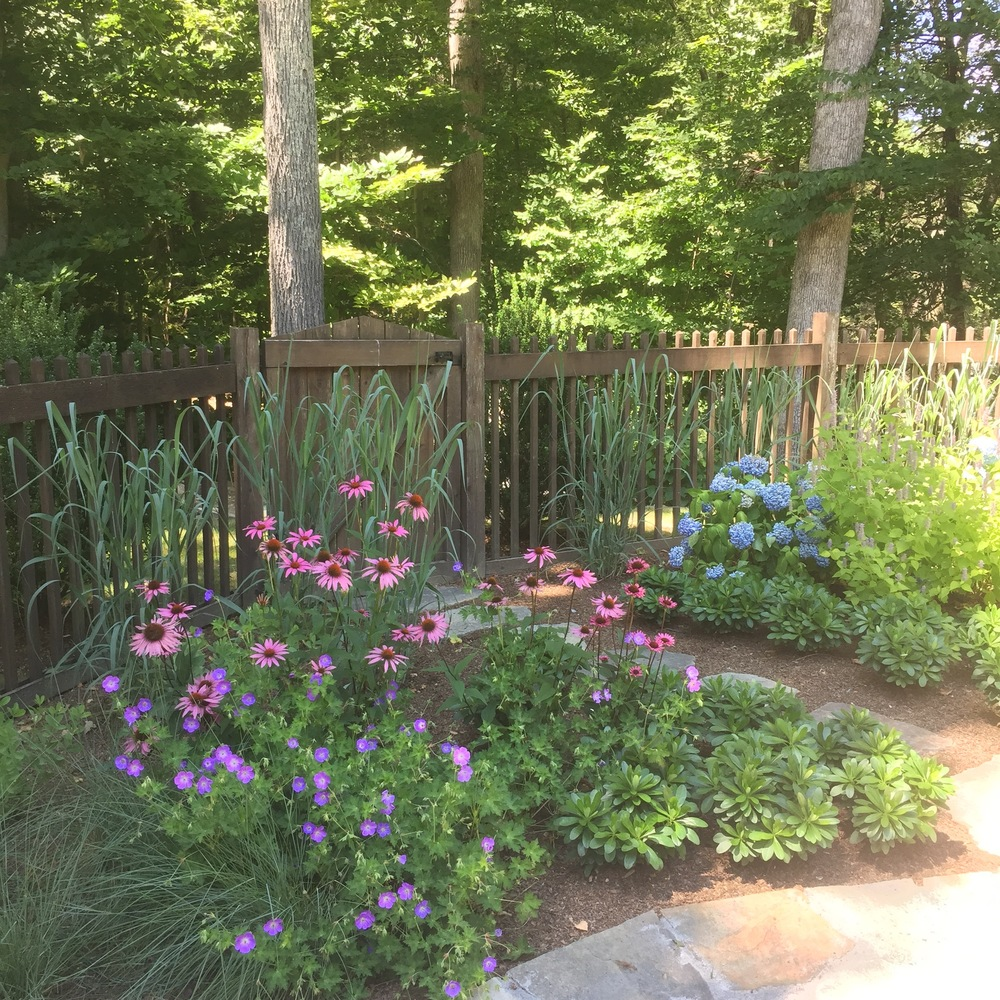 Side gate entrance: Purple Coneflowers, Geranium, Switchgrass
