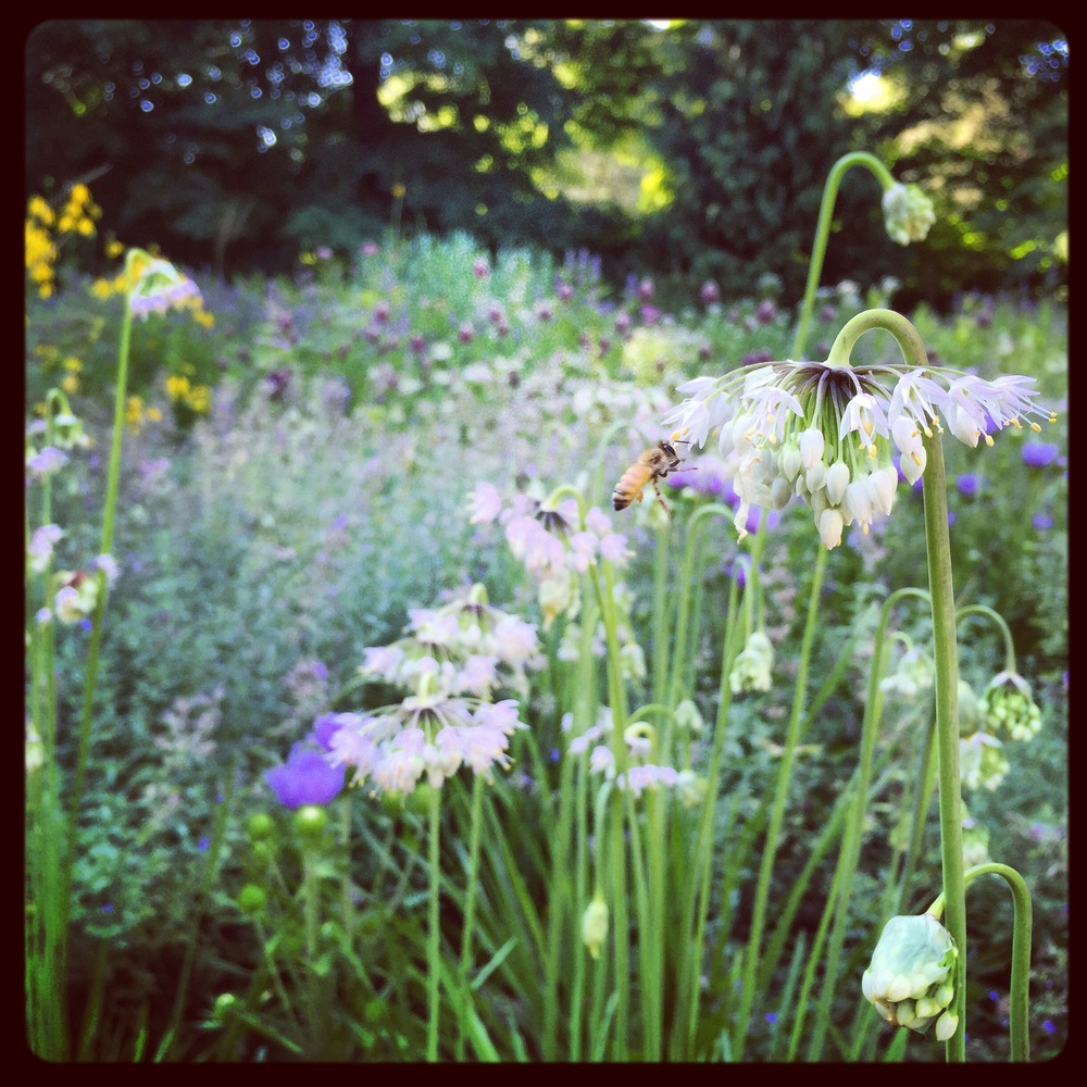 Nodding onion, Allium cernuum, are tough and irresistible to bees...