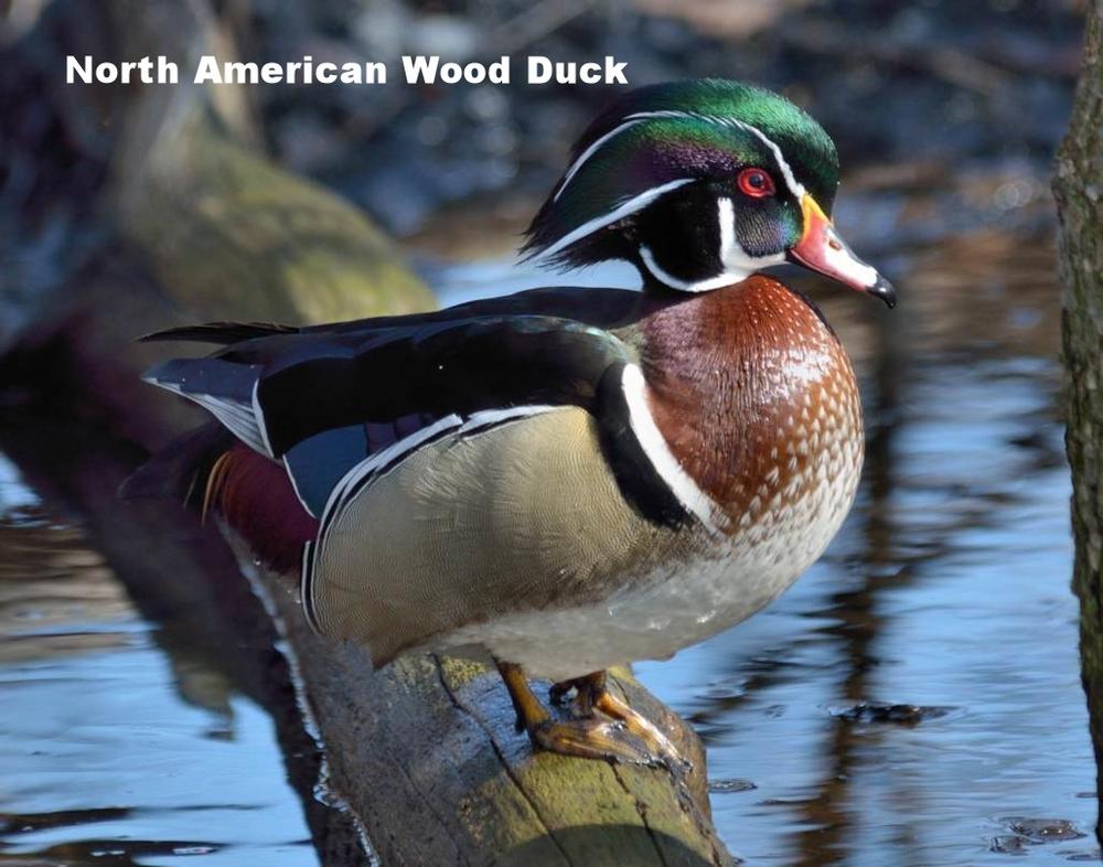 North American Wood Duck.jpg
