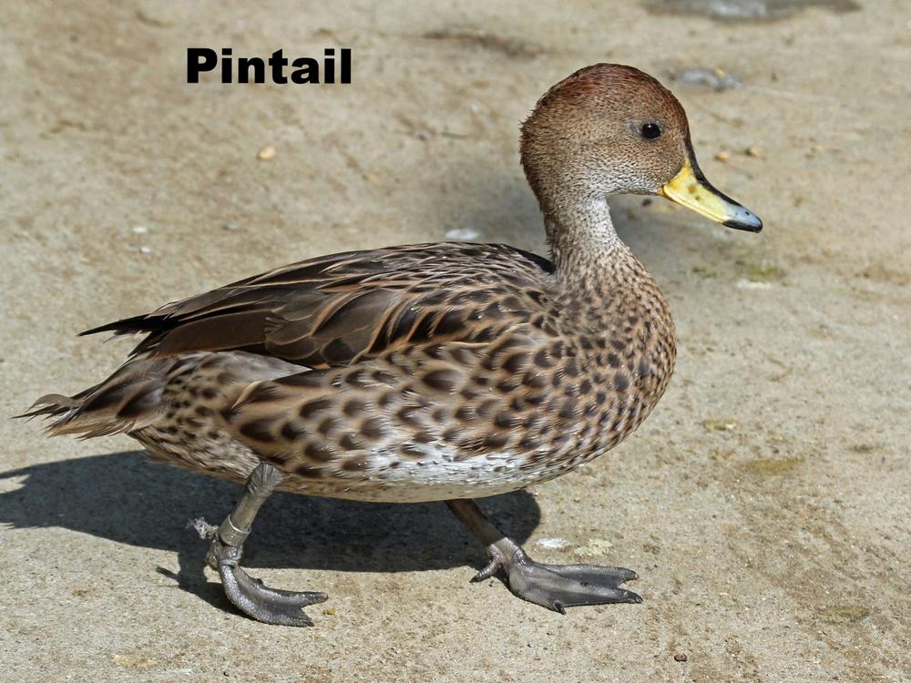 Pintail Duck.jpg