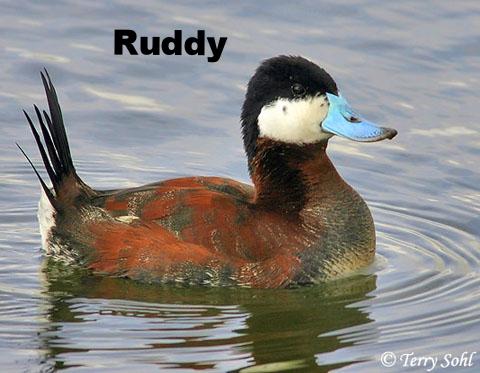 Ruddy Duck.jpg