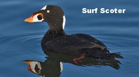 surf scoter duck.jpg
