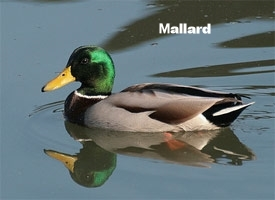 Mallard.jpg