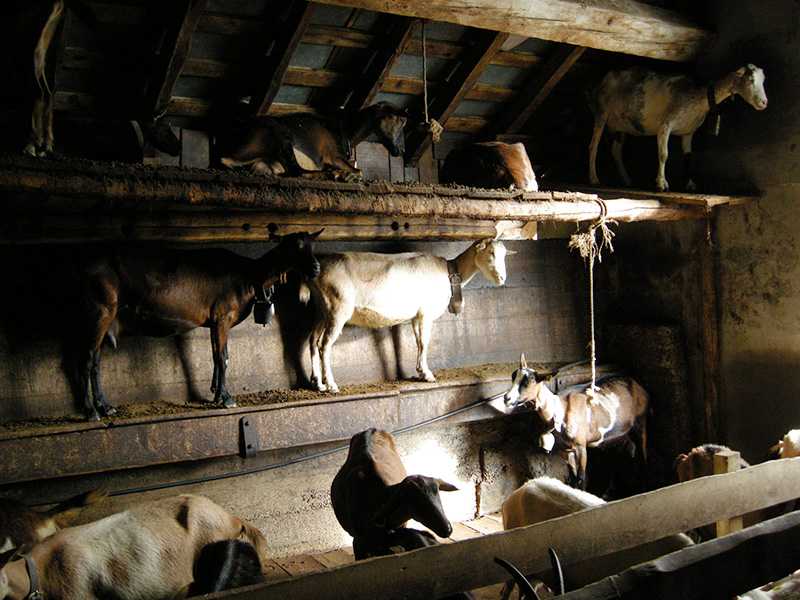 Goat shed - alpine and saanen goats.
