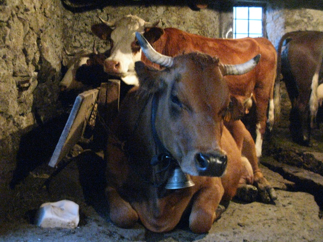 Tarine (front) and Abondance (back) Cows