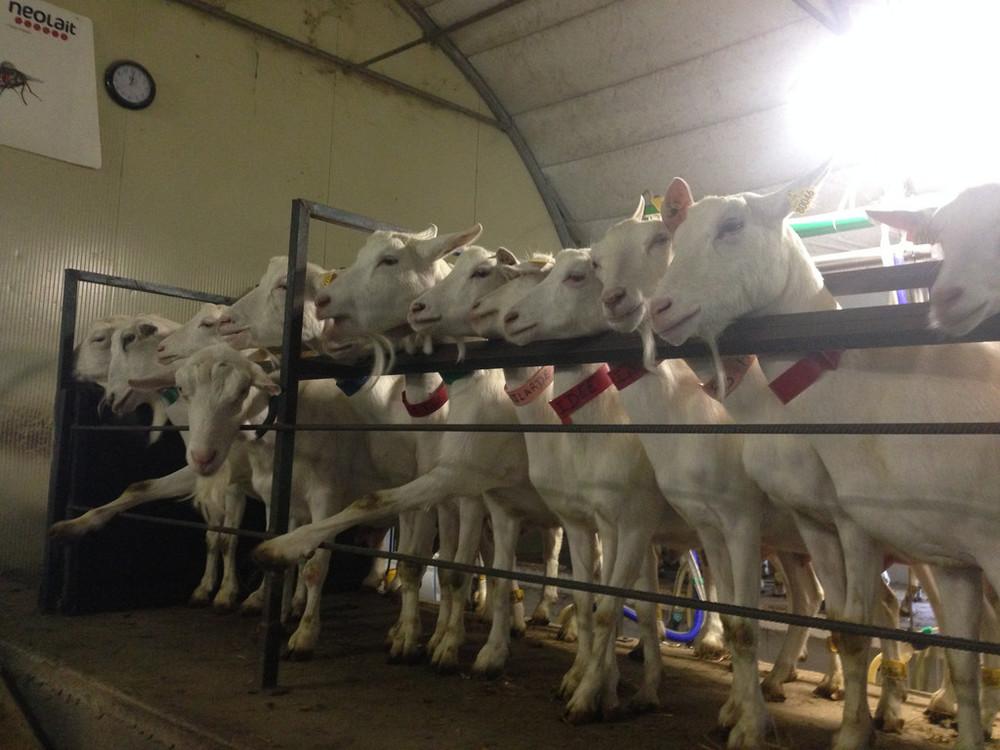 Saanen goats