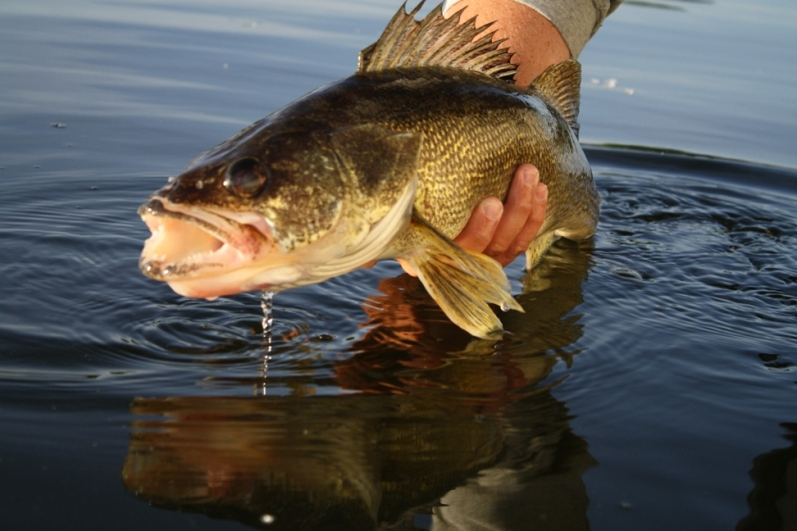 Lake Minnetonka Walleye