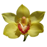 Cymbidium Orchid   Season: Year Round   Colors: White, Purple, Burgundy, Yellow, Orange, Green  Price Range: High End