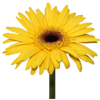 Gerbera Daisy    Season: Year Round   Colors: White, Pink, Yellow, Orange, Red  Price Range: Modest