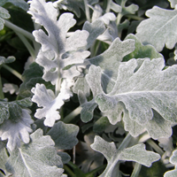Dusty Miller    Season: Year Round   Colors: Minty Green  Price Range: Fair