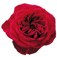 Garden Rose    Season: Year Round   Colors: White, Pink, Red, Peach, Yellow  Price Range: High End