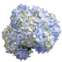 Hydrangea   Season: Year Round  Colors: White, Blue, Green, Pink  Price Range: Fair