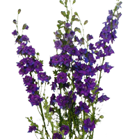 Larkspur    Season: March to September   Colors: White, Purple, Blue, Pink  Price Range: Fair