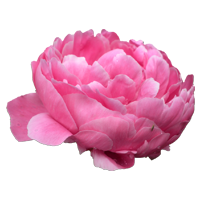 Peony    Season: May to July and December to January Also Available January to May but cost more   Colors: White, Pink  Price Range: High End