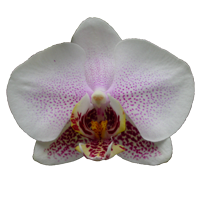 Phalaenopsis      Season: Year Round   Colors: White, Purple  Price Range: High End
