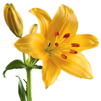 Asiatic Lily    Season: Year Round   Colors: White, Pink, Yellow, Orange  Price Range: Fair