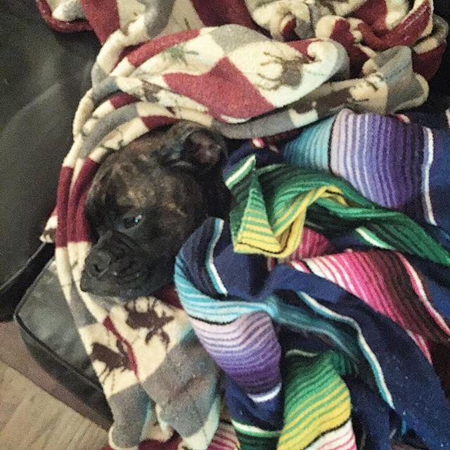 Where's Lucy? Mama, it's cold + we need more snuggles #babyitscoldoutside. . . . #sweetlucy #boxerdog #boxer #boxerpup #boxerlove #dogs #instadog #instadogs #puppy #puppylove #boxeraddict #boxersofinstagram #boxerfamily #dogsofinstaworld #doglove #ilovemypuppy #dogsofinstagram #instantboxer #boxerlovealways #animals #pets #puppiesofinstagram #bestwoof #theboxerworld
