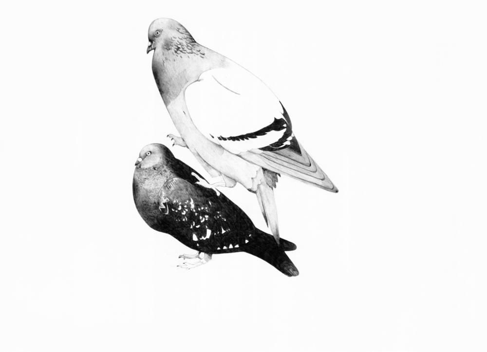 pigeons1bw.jpg