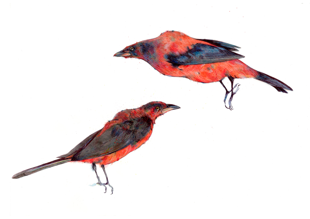 Scarlet tanagers from the Towneley Hall collection. When I looked at photos of tanagers in the wild, I discovered they look nothing like this; they are tiny and round! The Towneley Hall specimens are pretty squashed and hunch-backed. I really like bad taxidermy.