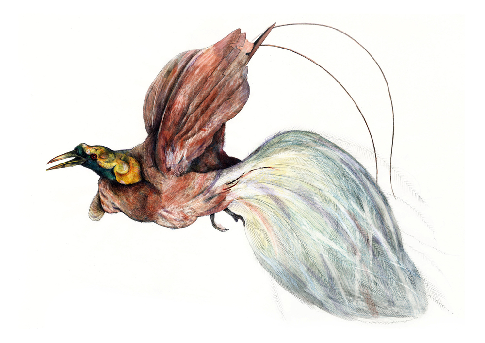 Bird of Paradise drawn during a residency at Towneley Hall, Lancashire, working from their taxidermy collection.