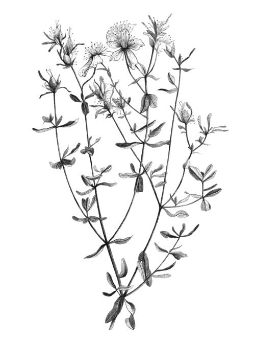 Ivy Plant Tattoo