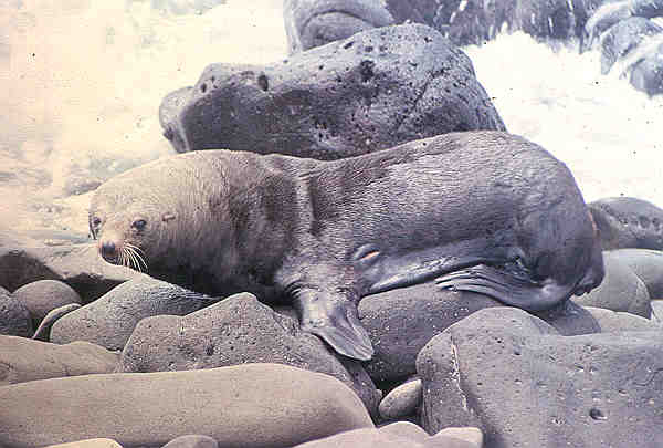 EL Niño VS. THE FUR SEALS