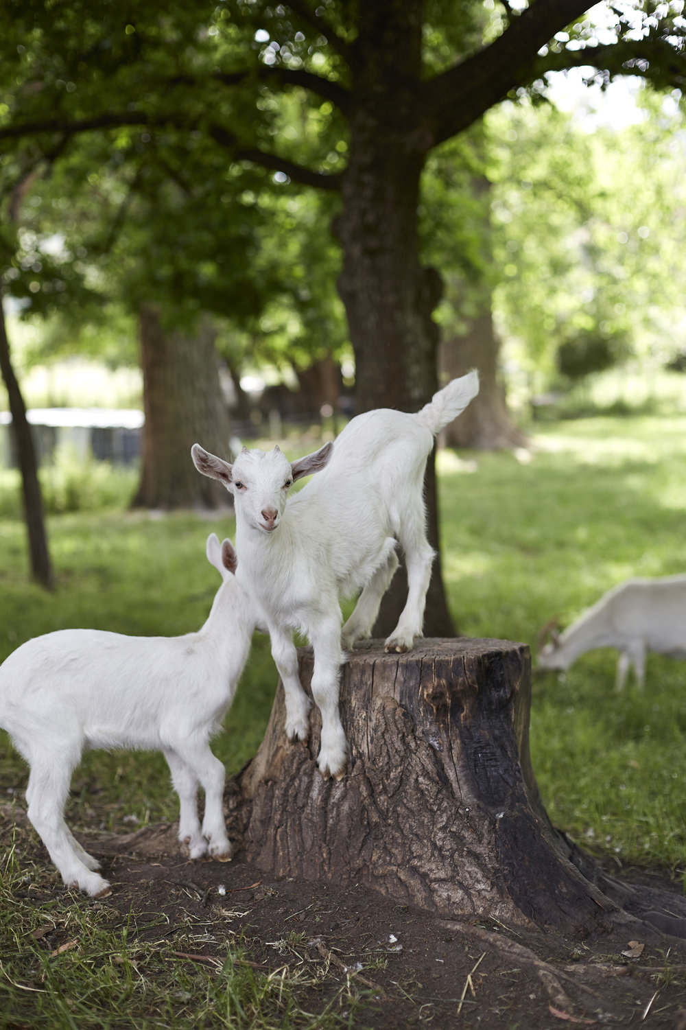 goat on stump.jpg