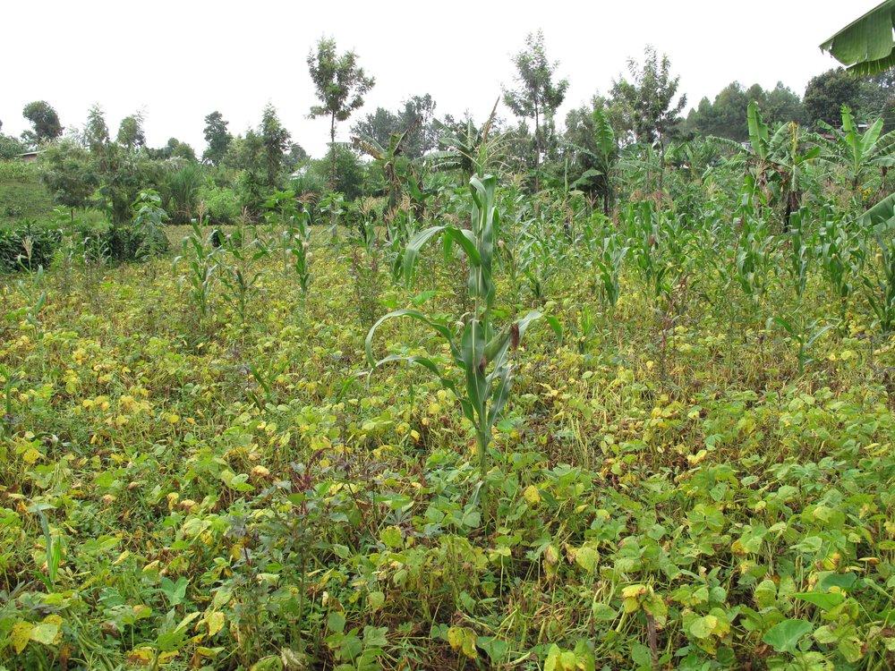 Demonstration maize plot, Kabare, South Kivu