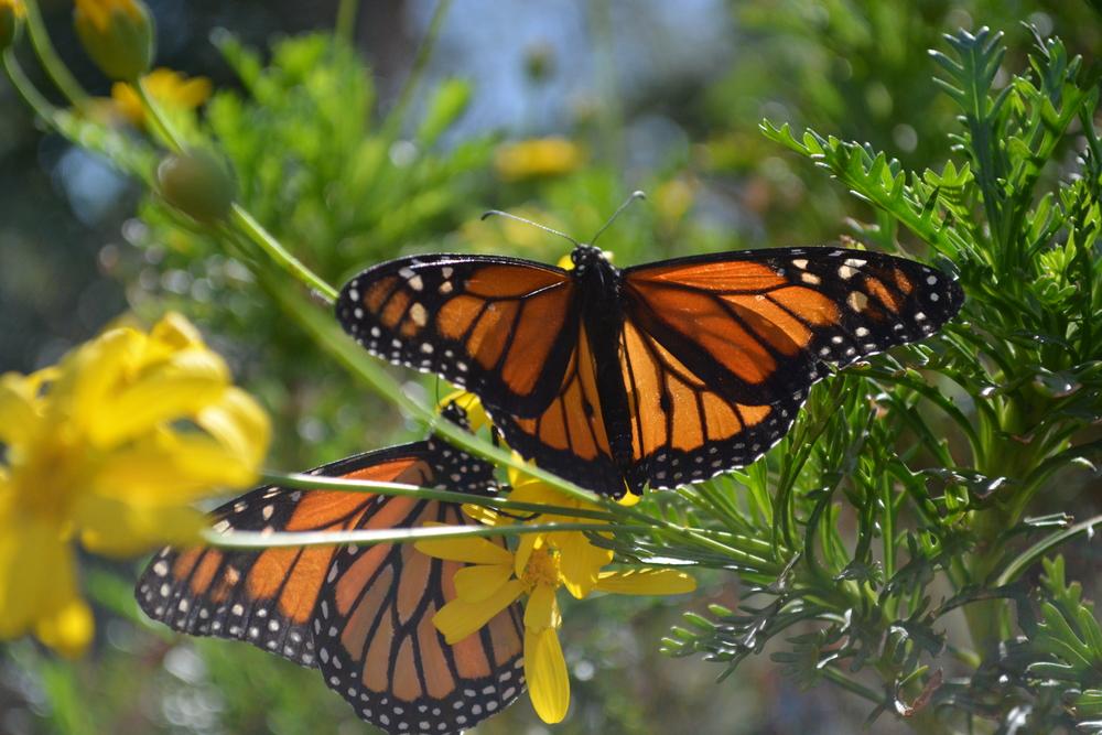 monarch (2).jpg