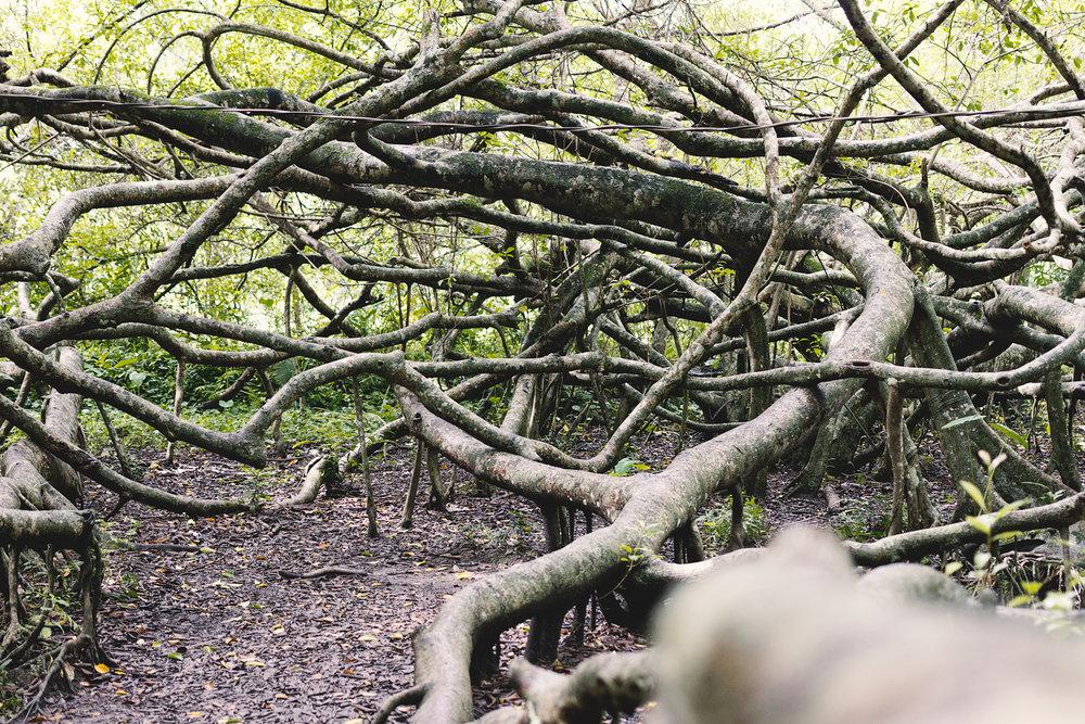 """""""Heritage tree"""""""