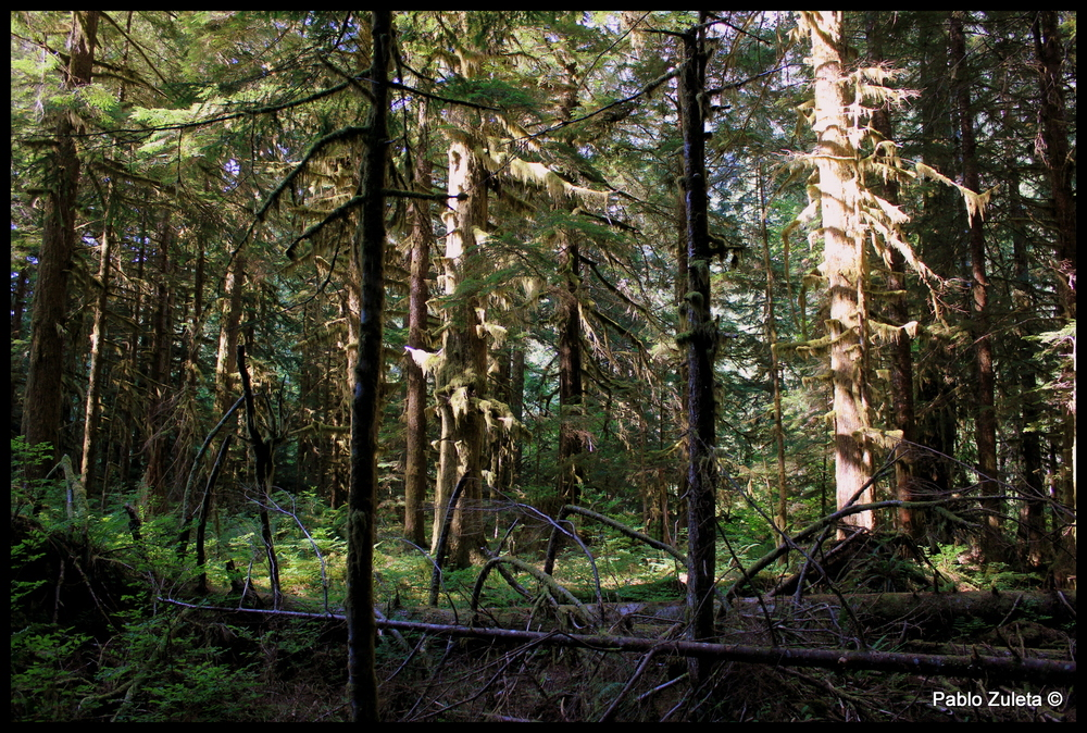 The Northwest forest
