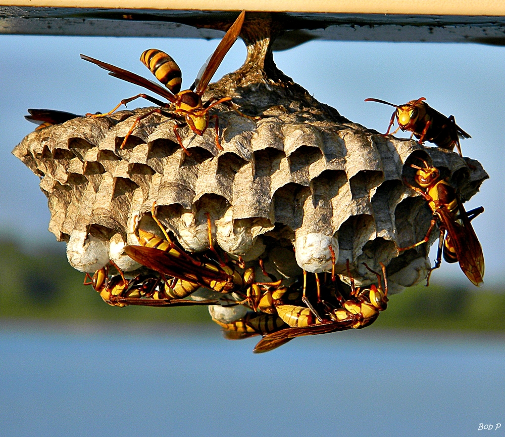 removing-paper-wasp-nests.jpg