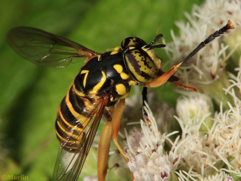 syrphid-fly-spilomyia-1280.jpg