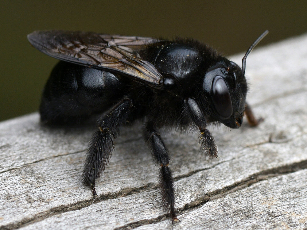 Carpenter bee1.jpg
