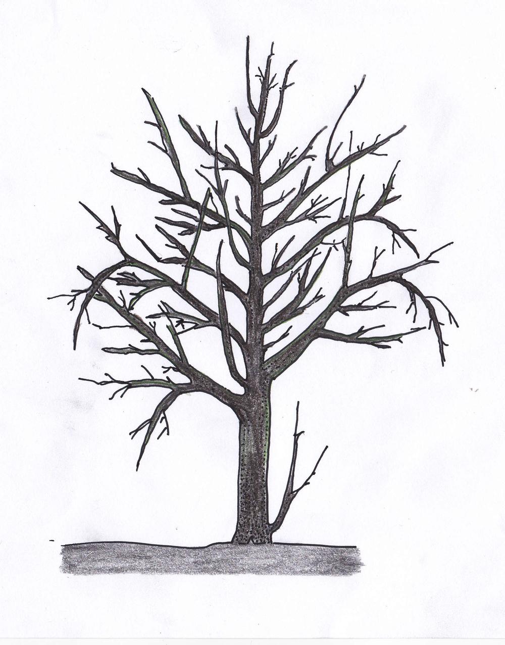 Fruchtholzverjüngung vorher