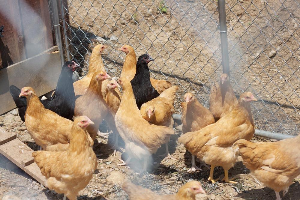 Crystal Springs Farm chickens.jpg