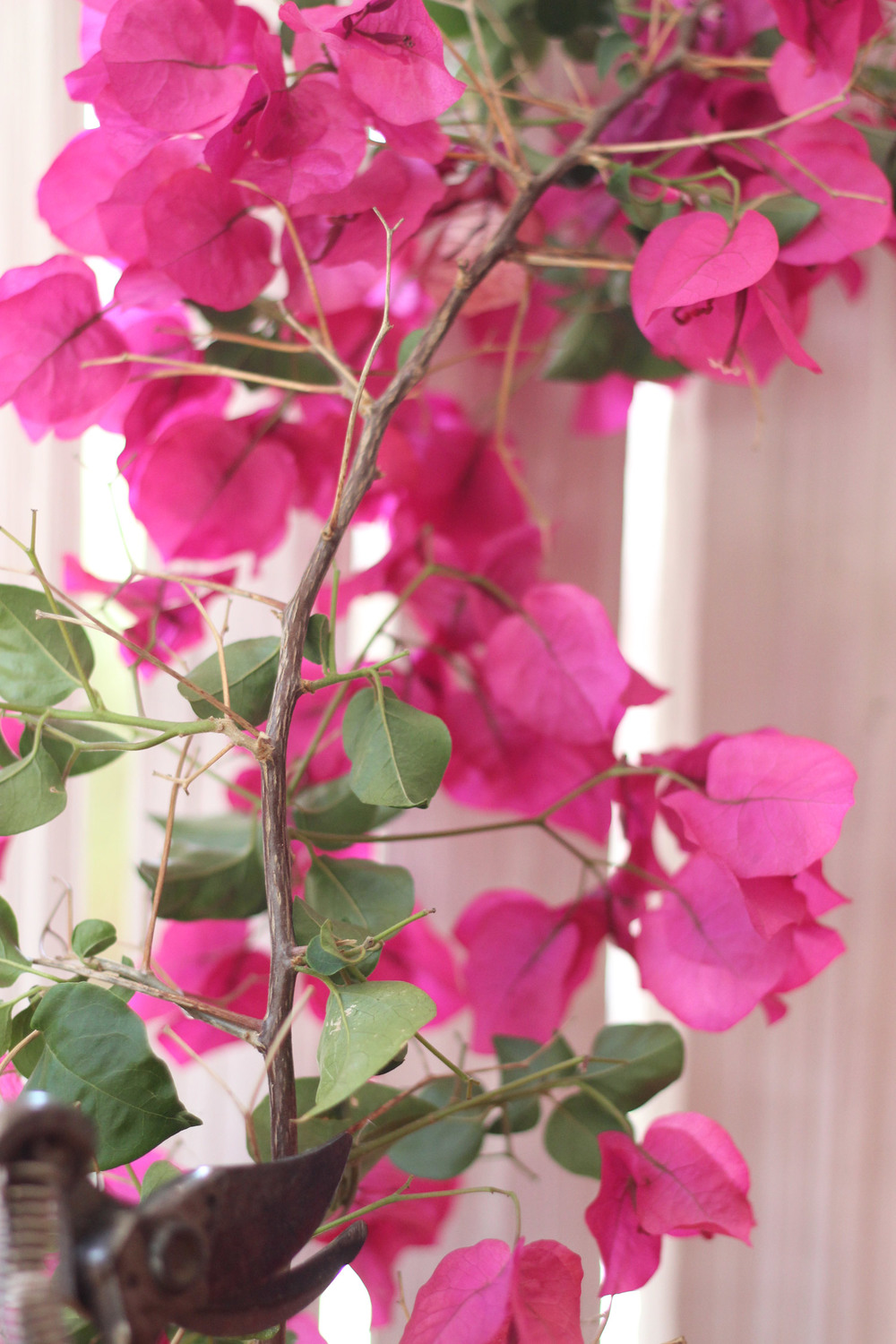 "Cut 2 Bougainvillea 14"" long. Trim leaves off bottom 6""."