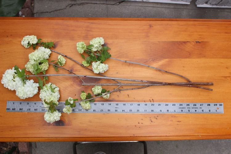 Measure viburnum about 28.5 inches.