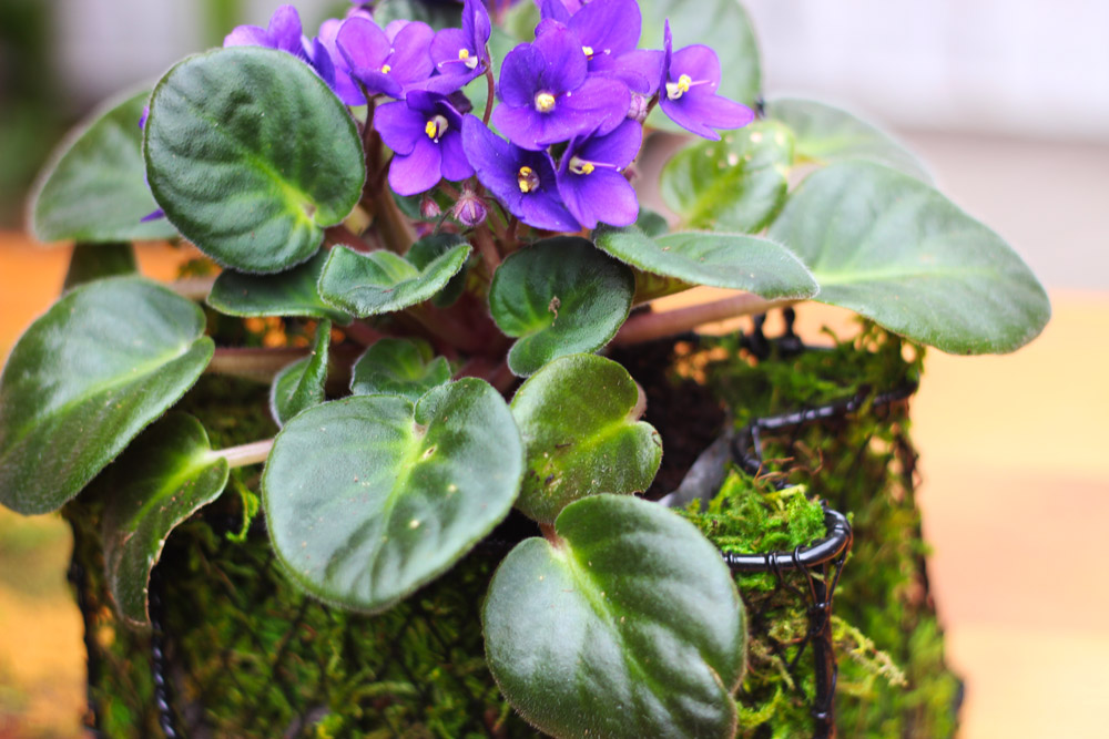 Plant the African Violet into the soil.