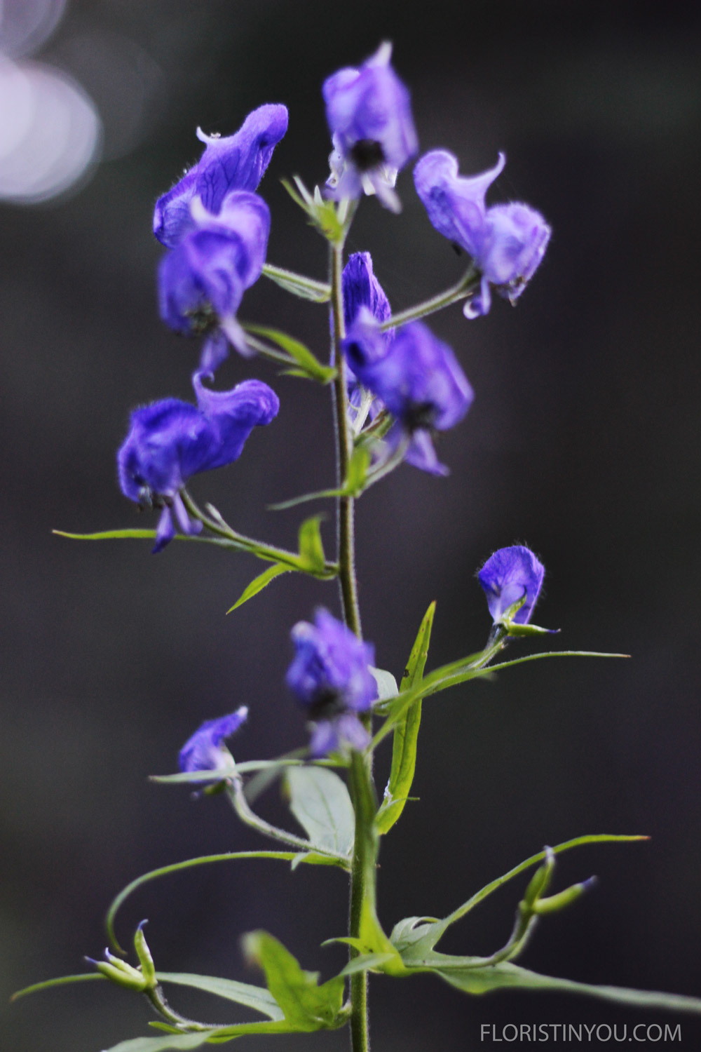 The  Monkshood   Aconitum columbianum  top looks like the garb of a medieval monk.