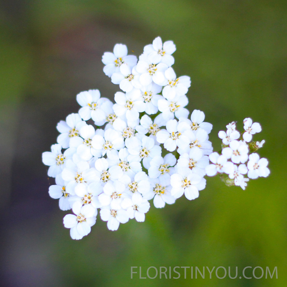 Filfoil Yarrow   Achillea millefolium  is a petite fragrant wildflower.