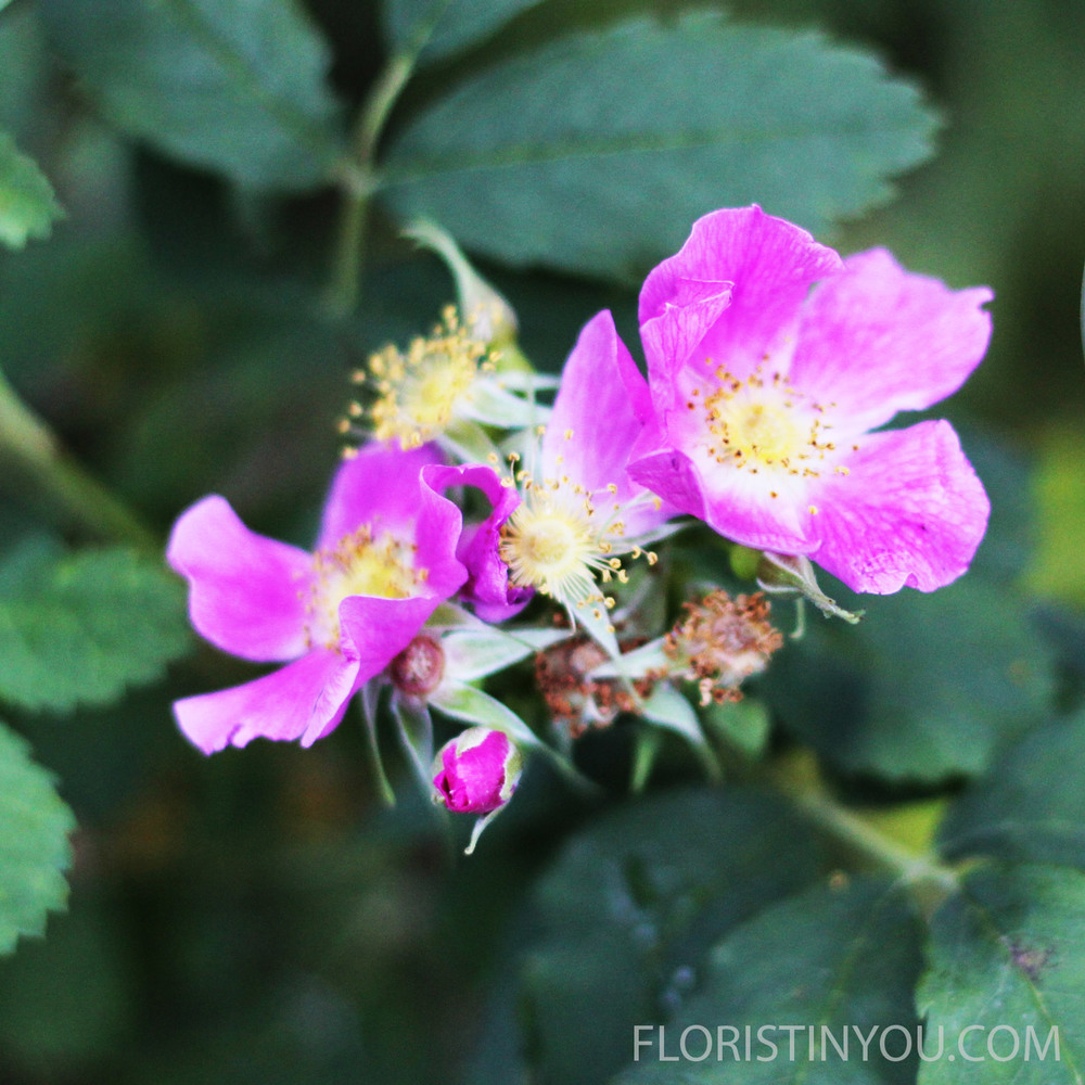 The  Nootka Rose   dressed in fuschia, has 5 pink petals.