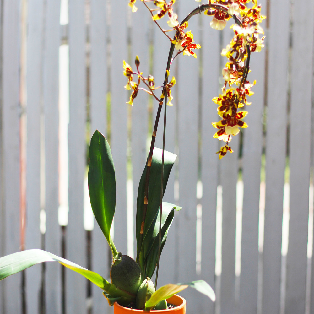 """Dancing Lady Orchid"" plant."