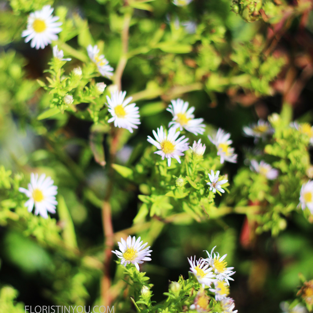 "You will find the ""Eastern daisy fleabane"" (Erigeron annuus.) (Sounds like Lord of the Rings)"