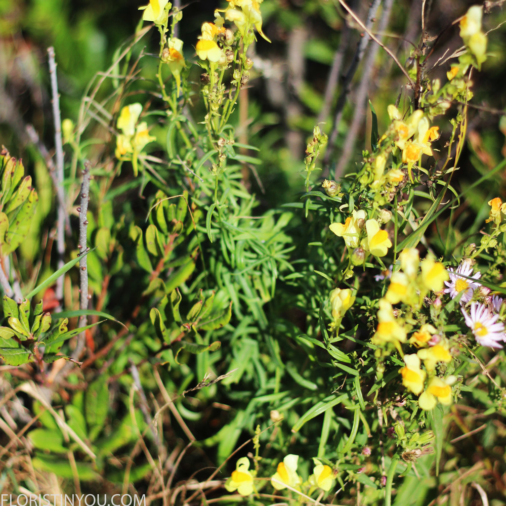 """Butter and Eggs"" or ""Yellow Toadflax."" Careful, its agressive."