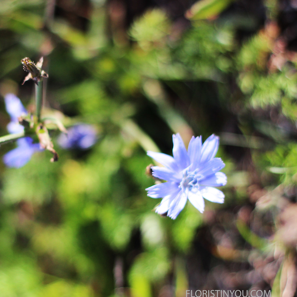 """Chicory"" or Chichorium Intybus grows here too."