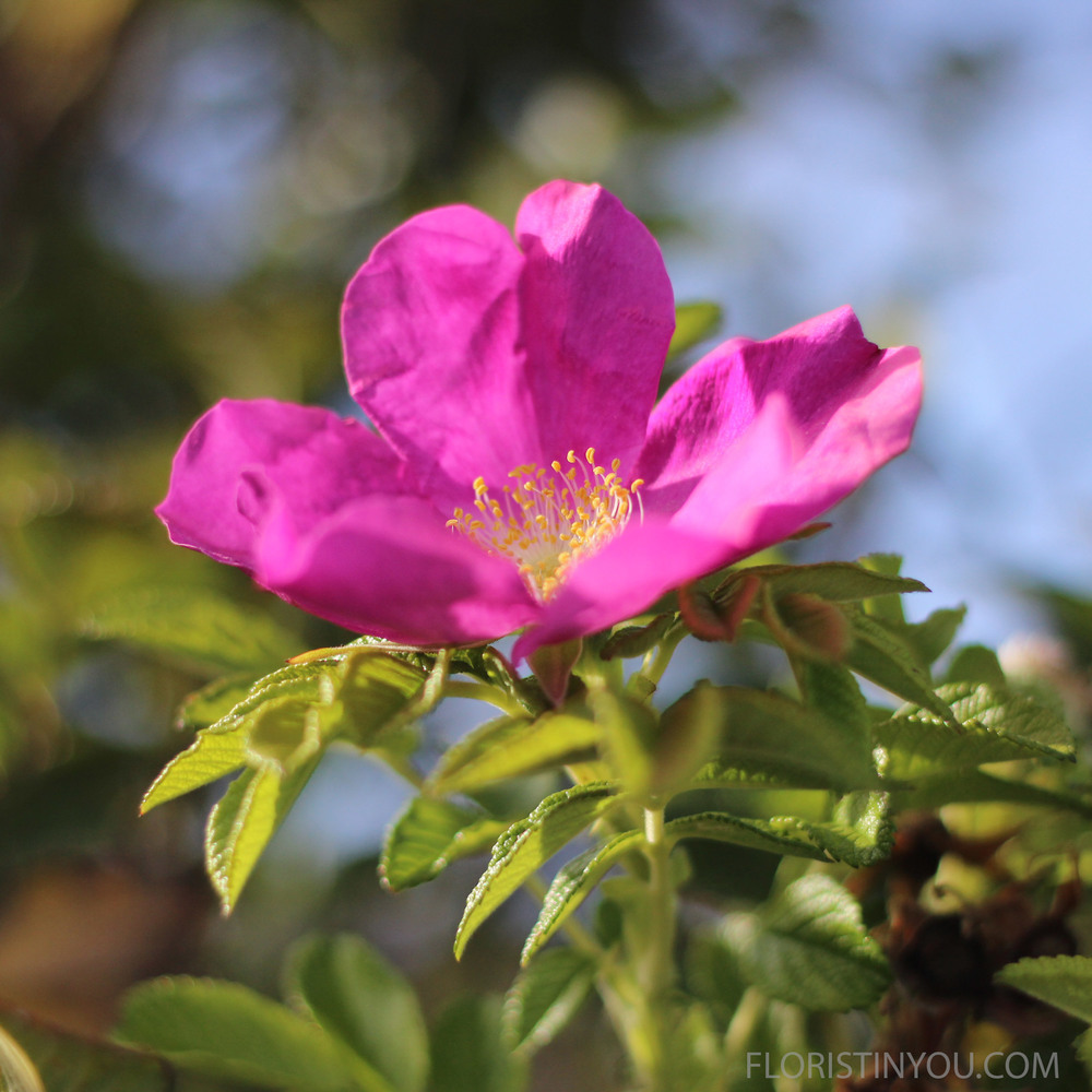 "You will also see the ""Beach Rose"" bushes. (Rosa Rugosa.)  (Sounds like Harry Potter.)"