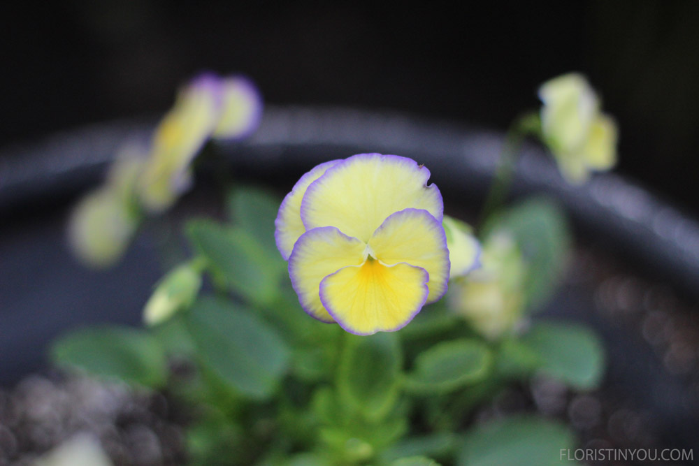 A lavender viola peeks its head out of a planter.